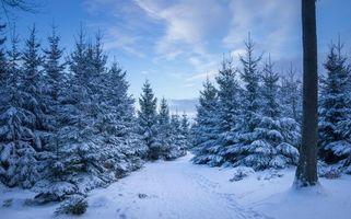 Фото бесплатно елочки, деревья, дорога