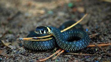 Фото бесплатно змея, черная, глаза