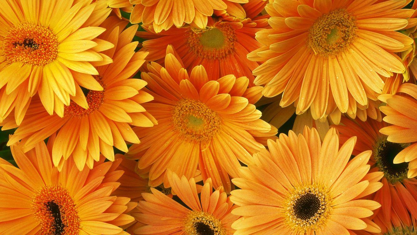 Фото бесплатно гербера, оранжевый, букет, разное