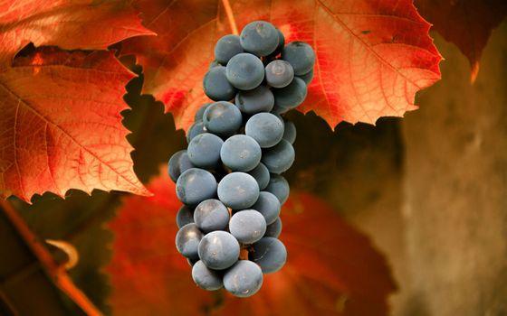 Фото бесплатно виноград, грона, синій