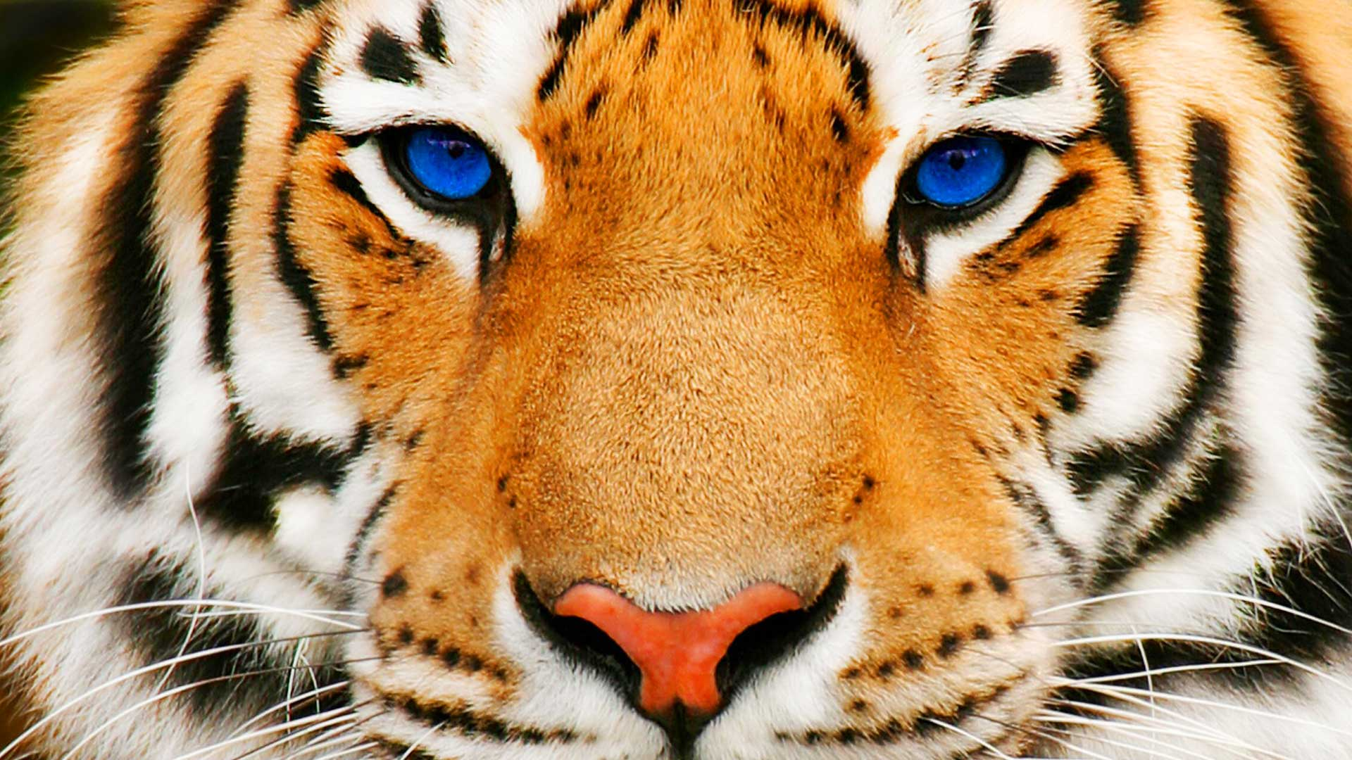 animals Tiger Face Wallpapers HD  Desktop and Mobile