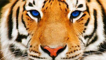 Бесплатные фото тигр,голубые глаза,животные
