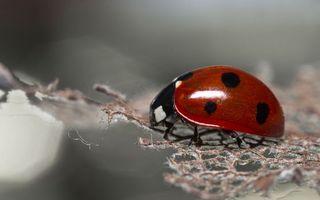 Бесплатные фото насекомое,божья коровка,красная,черные пятна,ползет,по нити,разное