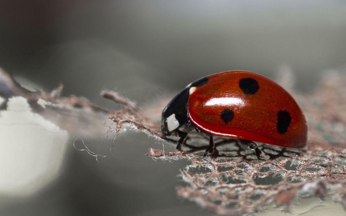 Фото бесплатно насекомое, божья коровка, красная - на рабочий стол
