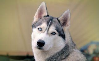 Бесплатные фото хаски, морда, глаза, голубые, взгляд, собаки