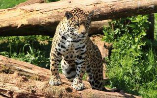 Бесплатные фото леопард на бревне,брёвна,хищник,животные