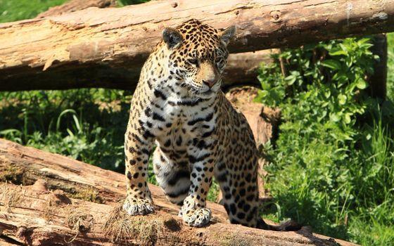 Фото бесплатно леопард на бревне, брёвна, хищник