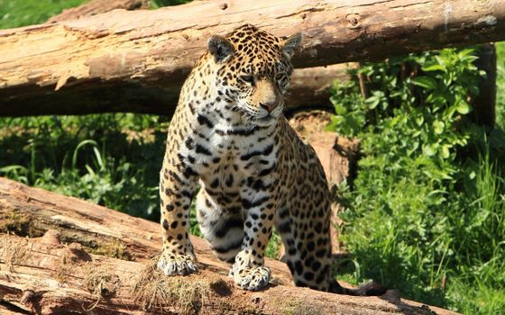 Заставки леопард на бревне, брёвна, хищник