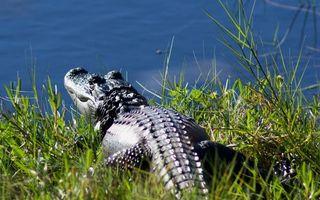 Бесплатные фото крокодил,болото,пруд,вода,трава,зелень,глаза