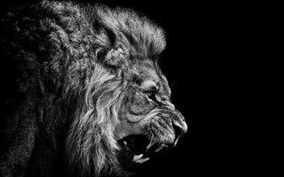 Фото бесплатно лев, грива, шерсть, клыки, пасть, фон, черный, глаза, уши, животные