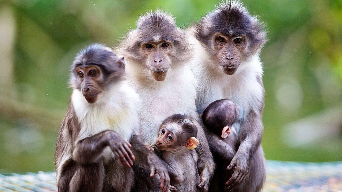 Фото бесплатно макаки, обезьяны, семья, дети, морды, шерсть, животные, животные
