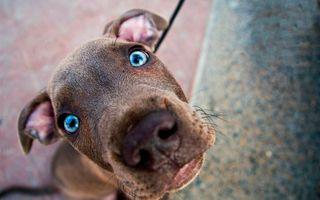 Бесплатные фото пес, щенок, глаза, голубые, зрачки, уши, голова