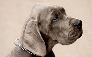 Бесплатные фото пес,уши,взгляд,печаль,шерсть,нос,усы
