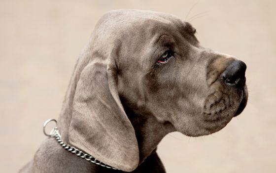 Фото бесплатно пес, уши, взгляд