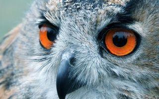 Фото бесплатно сова, филин, пух