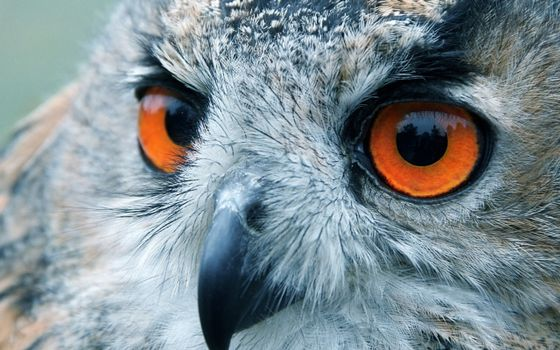 Photo free owl, eagle owl, feathers