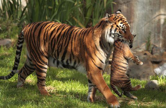 Photo free tigress, mother, bear