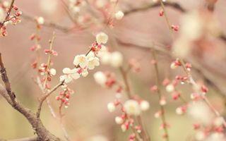 Заставки вишня,ветка,листья,лепестки,бутон,весна,тепло