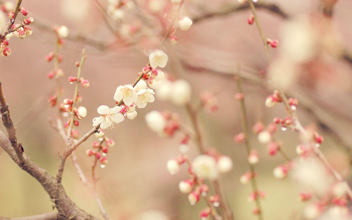 Фото бесплатно вишня, ветка, листья, лепестки, бутон, весна, тепло, почки, розовые, дерево, сад, цветы, цветы