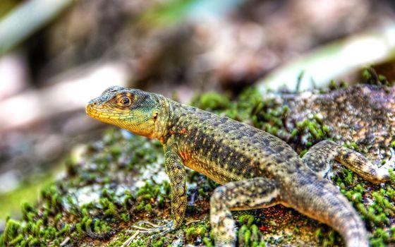 Фото бесплатно ящерица, млекопитающее, хвост