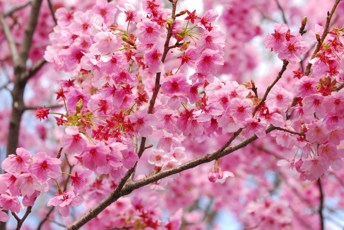 Красивые цветов картинки вишни