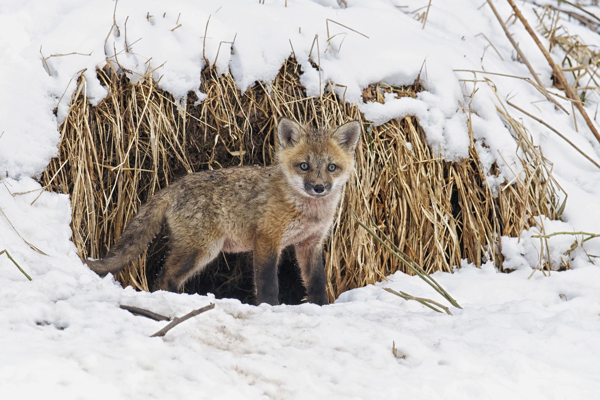 Обои зима, лисёнок, животное