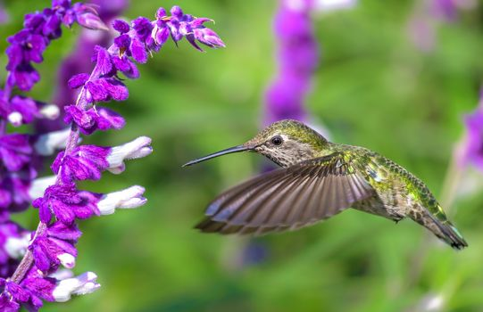 Фото бесплатно полёт, цветок, колибри