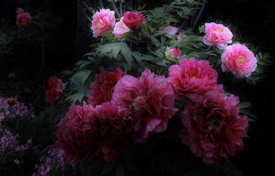 Фото бесплатно сад, цветы, пионы