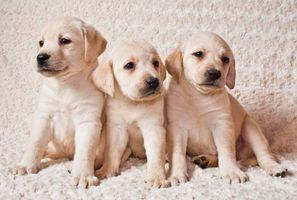 Фото бесплатно Лабрадор, собака, собаки