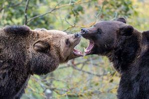 Заставки медведи, бурые, животные