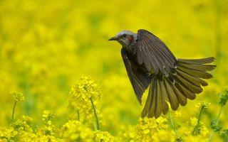 Обои птица, bulbul, черная, поле, цветы, желтые