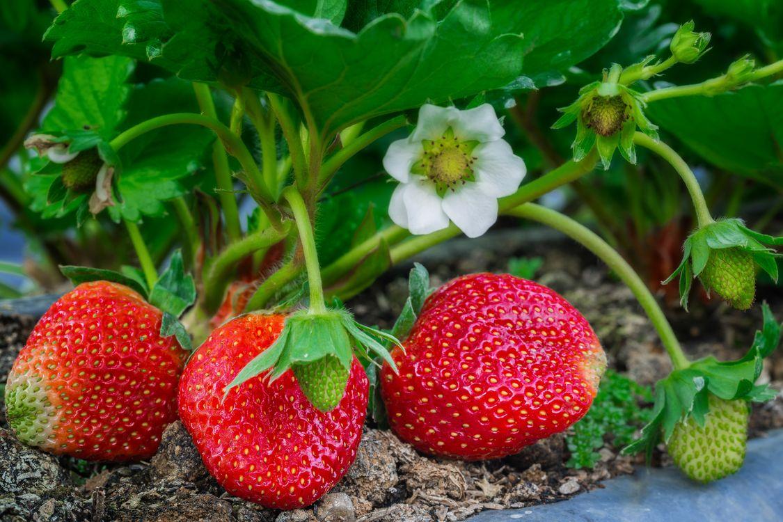 Фото бесплатно клубника, цветы, ягоды - на рабочий стол