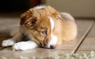 Бесплатные фото щенок,морда,глаза,лапы,шерсть,кафель