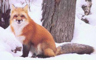 Бесплатные фото лиса,рыжая,шерсть,деревья,зима,снег