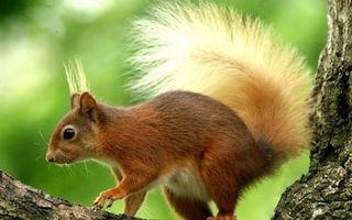 Бесплатные фото белка,уши,кисточки,хвост пушистый,лапы,шерсть,дерево