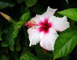 Фото бесплатно Hibiscus, Гибискус, цветок