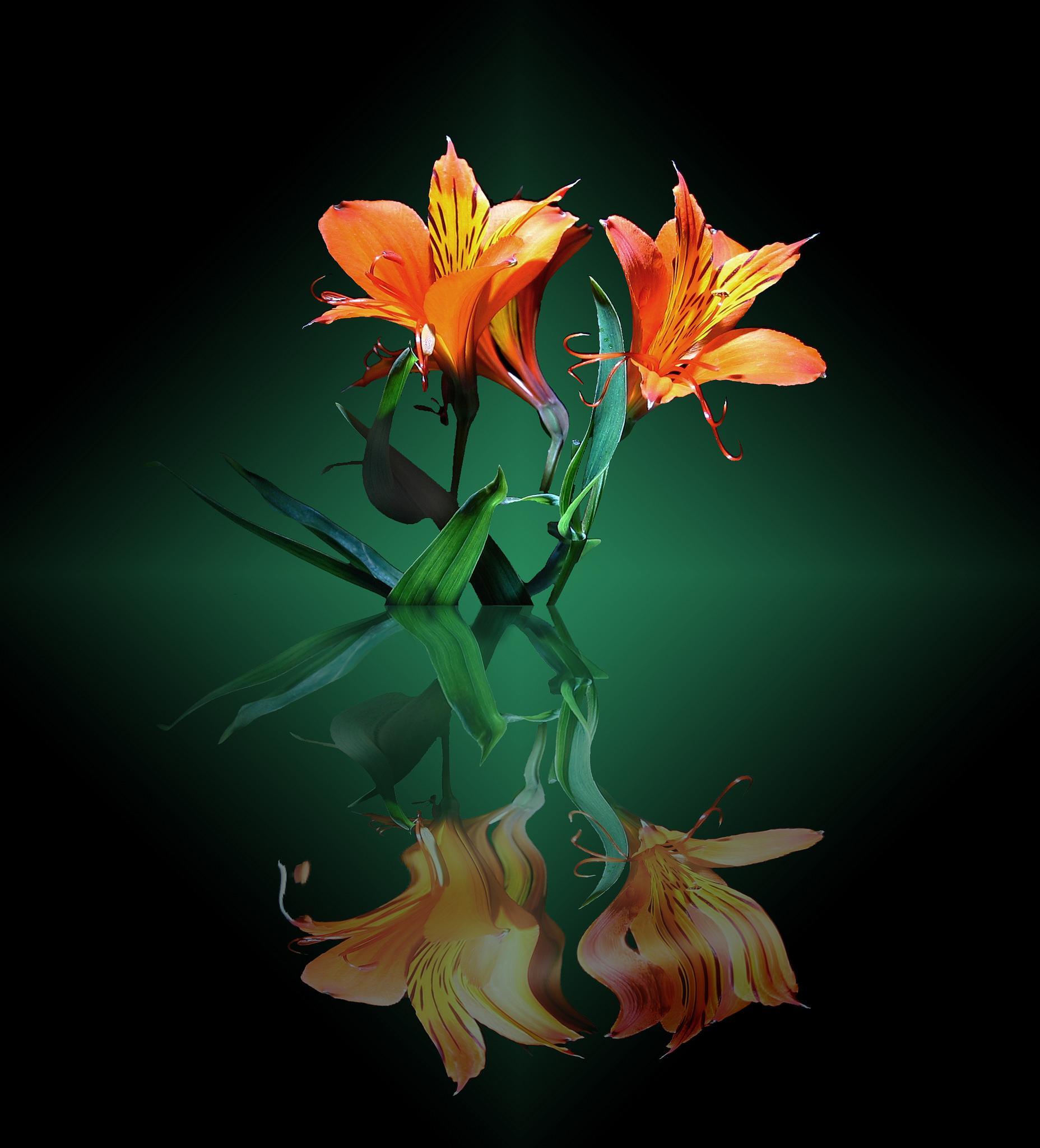 Картинки на телефон цветы лилии, днем