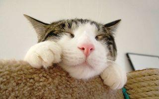 Фото бесплатно кошка, спит, морда