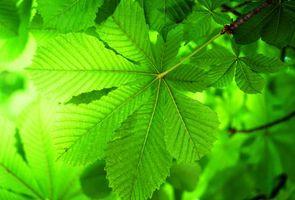 Заставки ветка,листья,каштан,макро