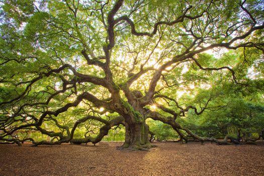 Фото бесплатно Дерево Дуб Ангел, Чарльстон, Южная Каролина