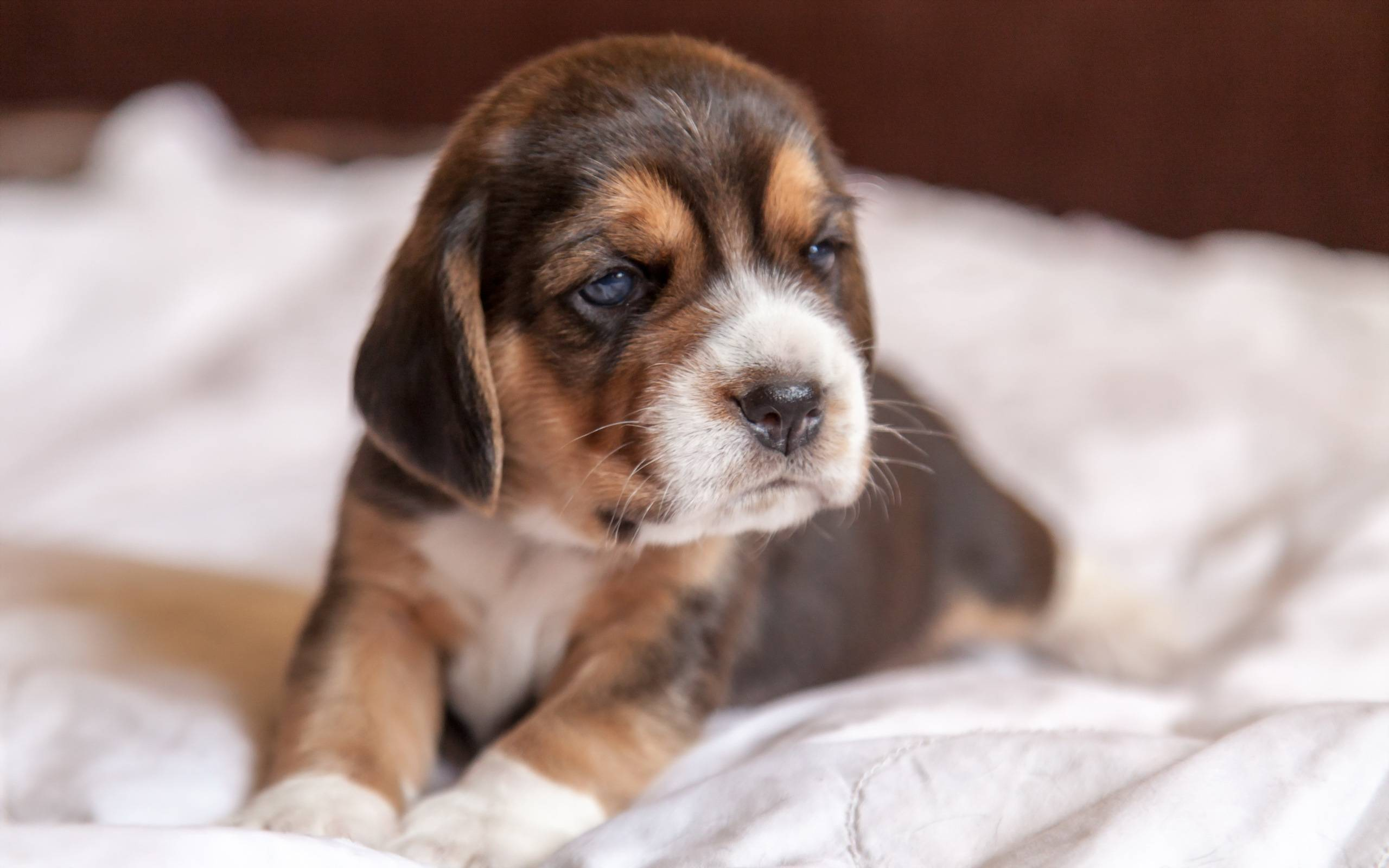 обои щенок, морда, уши, лапы картинки фото