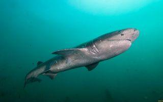 Фото бесплатно акула, жабры, плавники, море