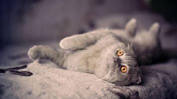 Фото бесплатно серый кот, желтые глаза