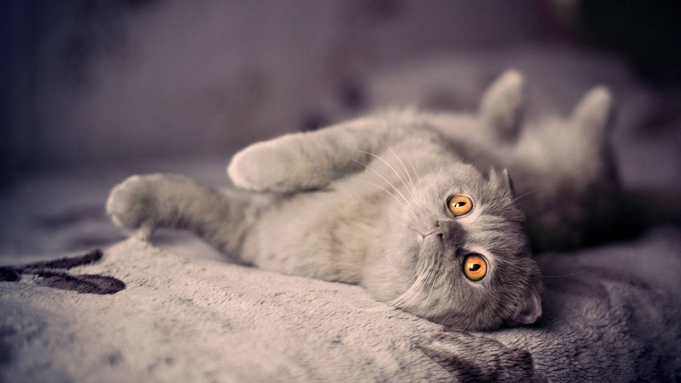 Photos for free grey cat, yellow eyes - to the desktop