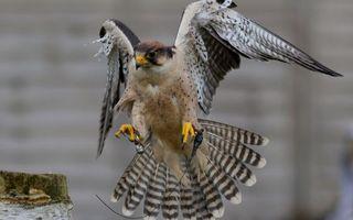 Бесплатные фото сокол,клюв,крылья,хвост,перья,лапы,когти