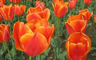 Фото бесплатно тюльпаны, лепестки, листья