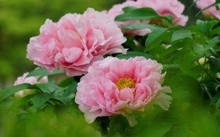 Бесплатные фото пионы,лепестки,розовые,листья,зеленые