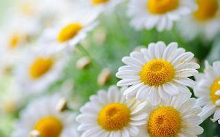 Бесплатные фото ромашки,лепестки,белые,пестики,тычинки,желтые,пыльца