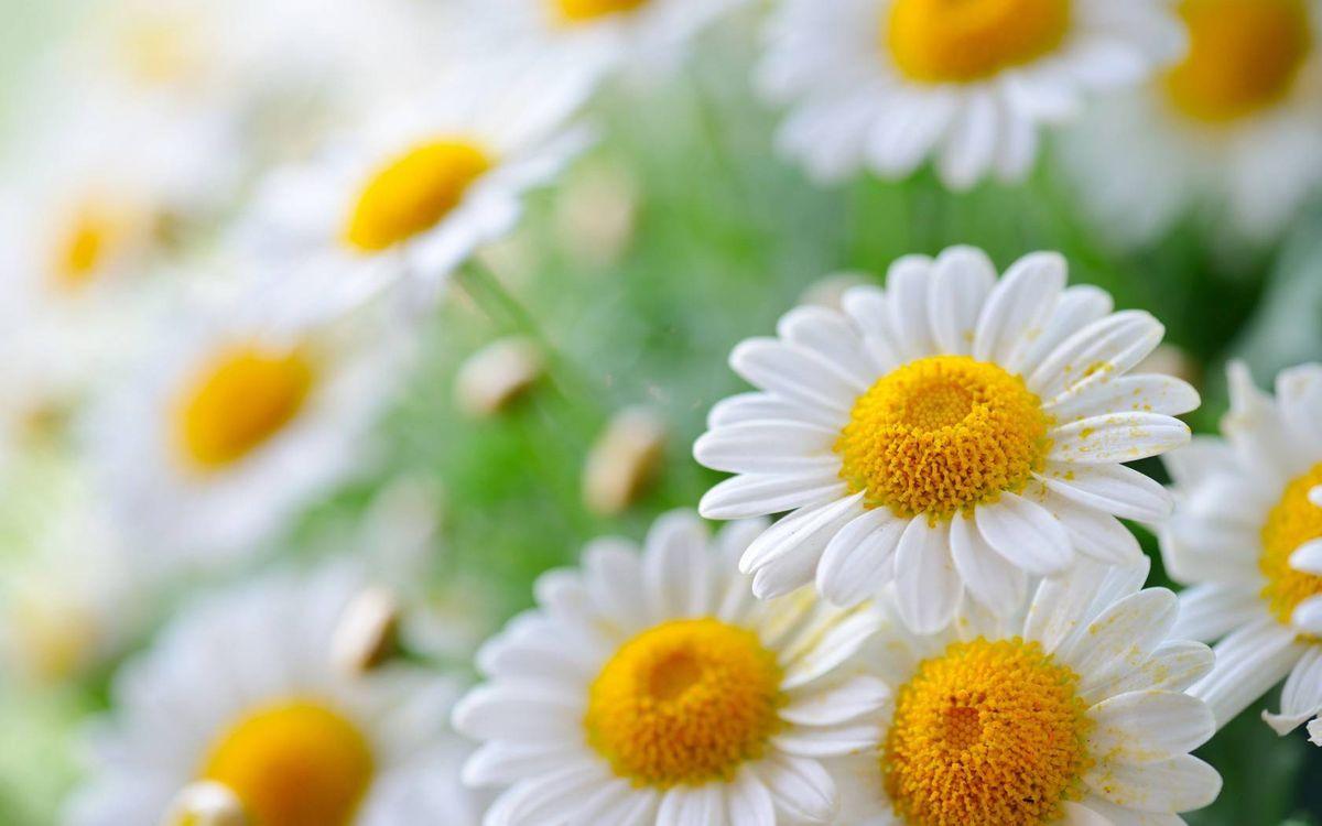 Фото бесплатно ромашки, лепестки, белые, пестики, тычинки, желтые, пыльца - на рабочий стол