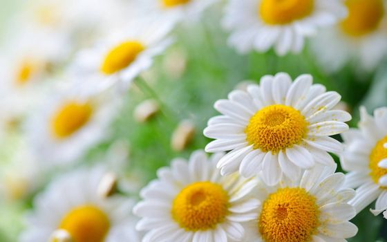 Фото бесплатно ромашки, лепестки, белые, пестики, тычинки, желтые, пыльца